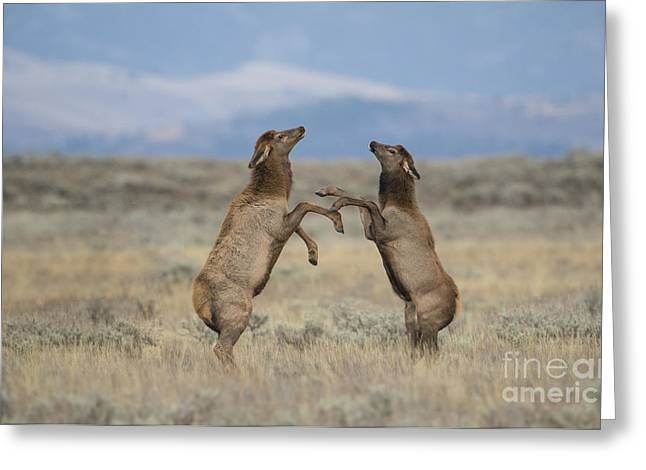 North American Wildlife Photographs Greeting Cards - Rising To The Occasion Greeting Card by Sandra Bronstein