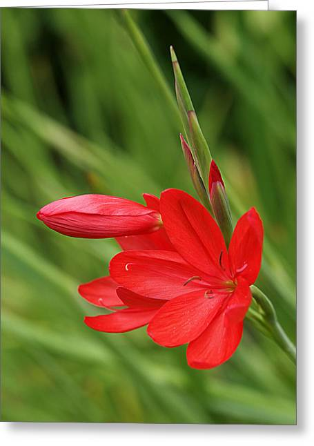 Crimson Lilies Greeting Cards - Ritzy Red Greeting Card by Gill Billington