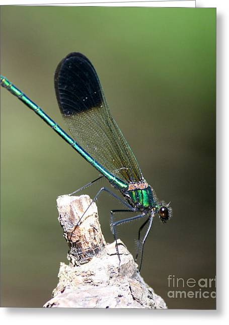 Macro Photography Greeting Cards - River Damselfly  Greeting Card by Neal  Eslinger