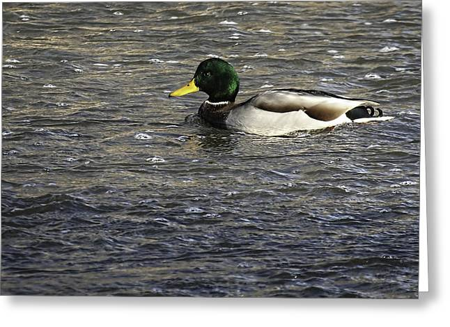 Thomas Young Photography Greeting Cards - River Mallard Greeting Card by Thomas Young