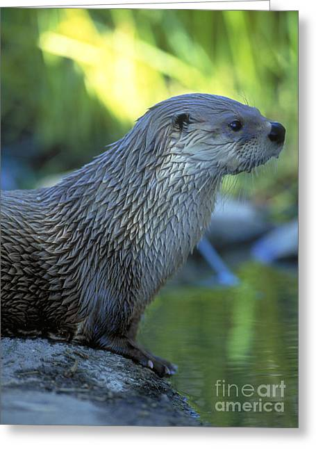Otter Greeting Cards - River Otter Greeting Card by Art Wolfe
