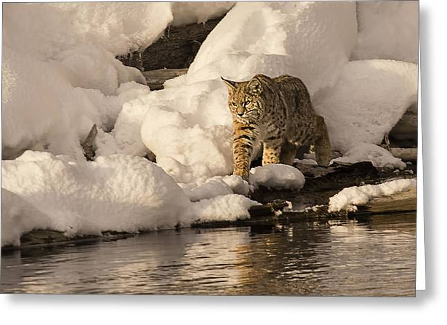 Bobcats Photographs Greeting Cards - River Walk Greeting Card by Priscilla Burgers