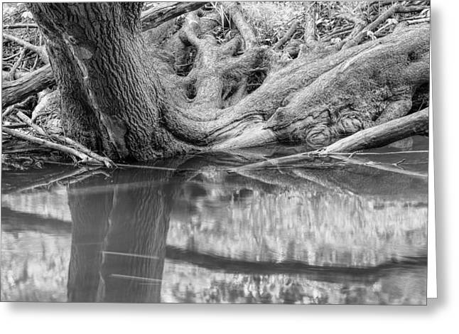 Petrifying Springs Greeting Cards - Riverbank Tree Roots Greeting Card by Chris Tobias