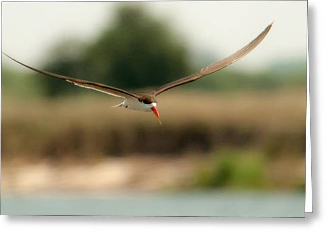 Tern Greeting Cards - Riverwing Greeting Card by Alistair Lyne