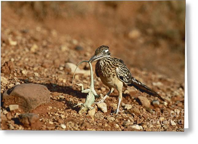 Roadrunner With Lizard Greeting Card by Wyman Meinzer/Okapia