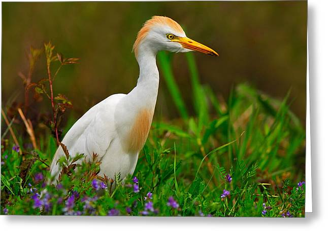 Cattle Egret Greeting Cards - Roaming Through The Field Greeting Card by Tony Beck