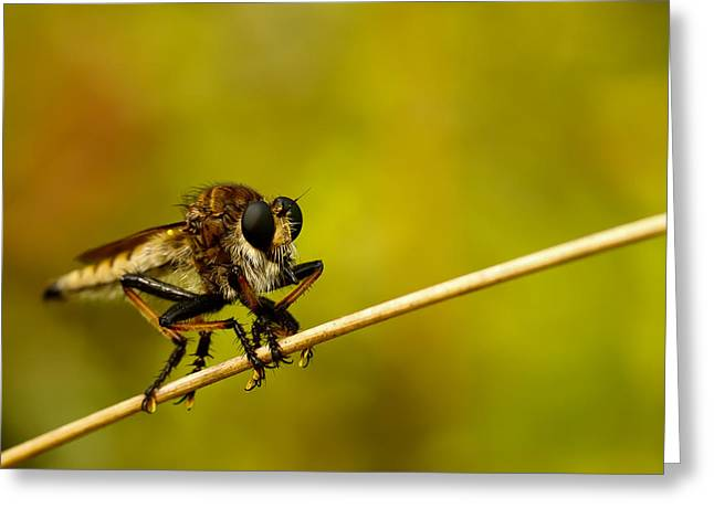 Robber Greeting Cards - Robber Fly Greeting Card by Shane Holsclaw