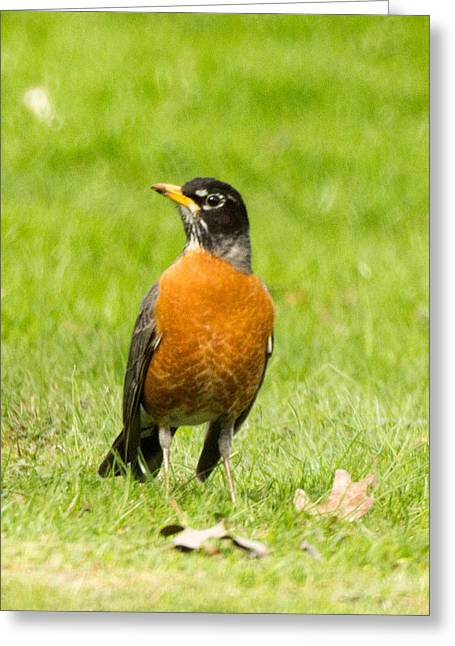 West Virginia Greeting Cards - American Robin Turdus migratorius 1 Greeting Card by Howard Tenke