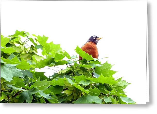 Cautious Greeting Cards - Robin After A Rain Greeting Card by Will Borden