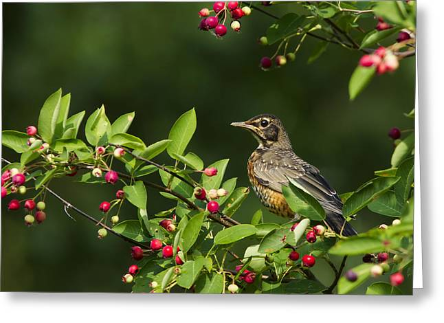 Black Berries Greeting Cards - Robin and berries Greeting Card by Mircea Costina Photography