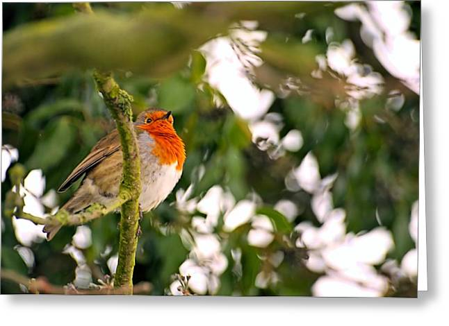 Dave Woodbridge Greeting Cards - Robin  Greeting Card by Dave Woodbridge