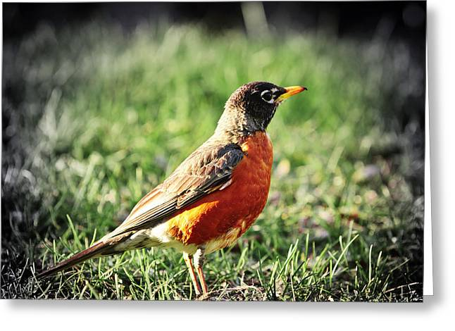 Sat Photographs Greeting Cards - Robin Greeting Card by Elena Elisseeva