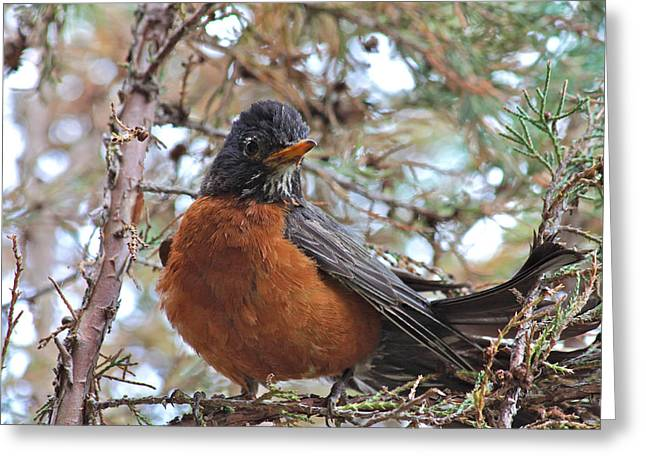 American Robin Greeting Cards - Robin in the Juniper Tree Greeting Card by Karon Melillo DeVega