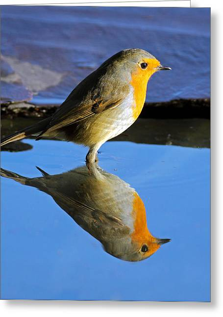 Reflection In Water Greeting Cards - Robin in water Greeting Card by Grant Glendinning