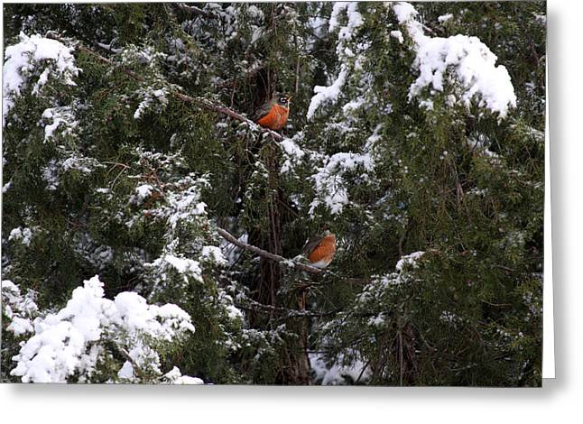 Evergreen With Snow Greeting Cards - Robin Red Breasts Greeting Card by Cheri Lee