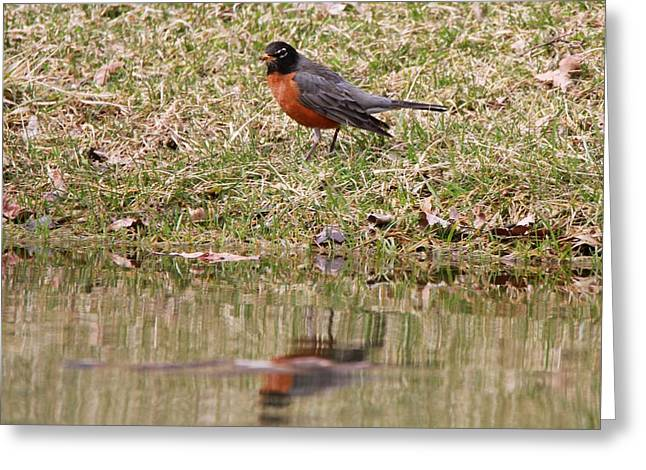 Pond In Park Greeting Cards - Robin Reflection Greeting Card by Dan Sproul