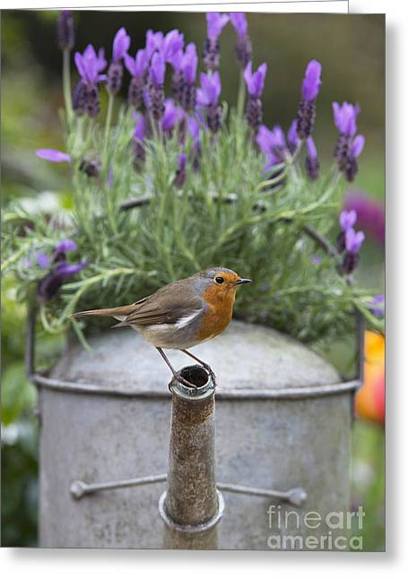 Watering Can Greeting Cards - Robin Greeting Card by Tim Gainey