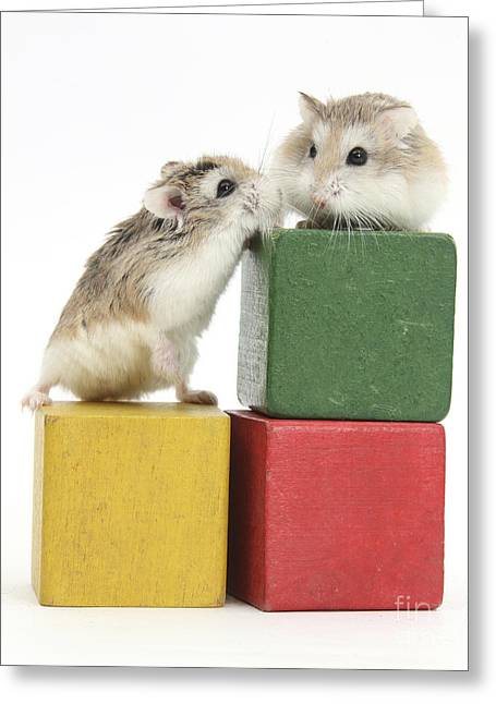 House Pet Greeting Cards - Roborovski Hamsters Greeting Card by Mark Taylor
