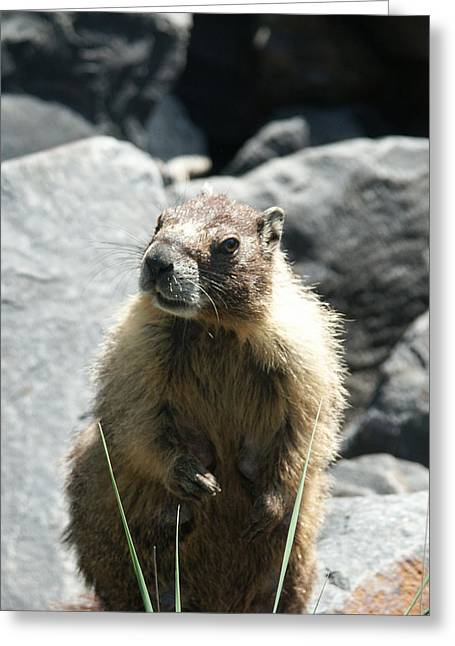 Spokane Greeting Cards - Rock Chuck or Yellow-bellied Marmot Greeting Card by Paul  Griffin
