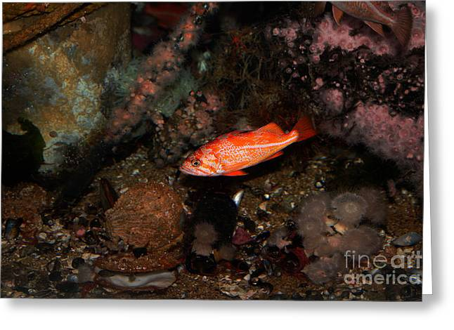 Snorkel Greeting Cards - Rock Fish 5D24810 Greeting Card by Wingsdomain Art and Photography