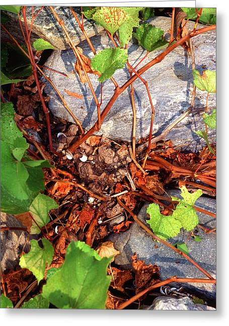 Rock Grape Vine Greeting Card by Scott Bauer/us Department Of Agriculture