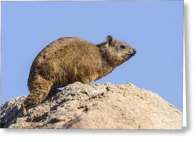 Northern Africa Greeting Cards - Rock hyrax Greeting Card by Science Photo Library