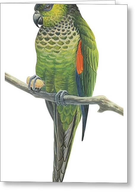 Exotic Drawings Greeting Cards - Rock parakeet Greeting Card by Anonymous