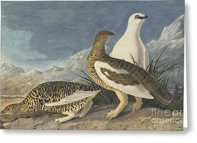 Pecking Drawings Greeting Cards - Rock Ptarmigan  Greeting Card by Celestial Images