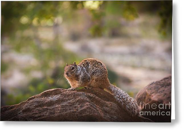 Bushy Tail Greeting Cards - Rock Squirrel in Zion Greeting Card by Robert Bales