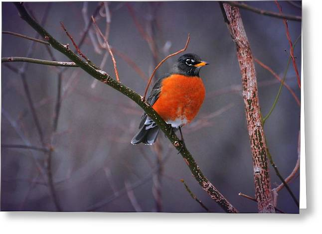 Red Crest Greeting Cards - Rockn Robin Greeting Card by Diana Angstadt