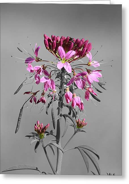 Pinks And Purple Petals Greeting Cards - Rocky Mountain Bee Plant SC Greeting Card by Shane Bechler