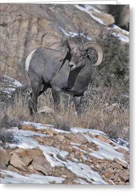 Rocky Mountain Sheep Greeting Cards - Rocky Mountain Big Horn Ram  Greeting Card by Gary Langley