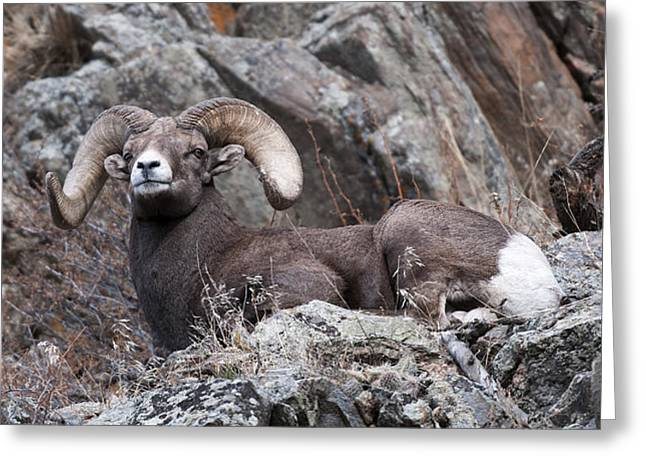 Rocky Mountain Sheep Greeting Cards - Rocky Mountain Big Horn Ram on Watch Greeting Card by Gary Langley