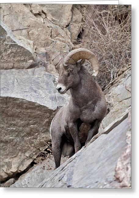 Rocky Mountain Sheep Greeting Cards - Rocky Mountain Big Horn Sheep Ram Greeting Card by Gary Langley