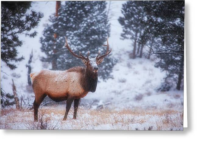 Rocky Mountains Greeting Cards Greeting Cards - Rocky Mountain Elk Greeting Card by Darren  White