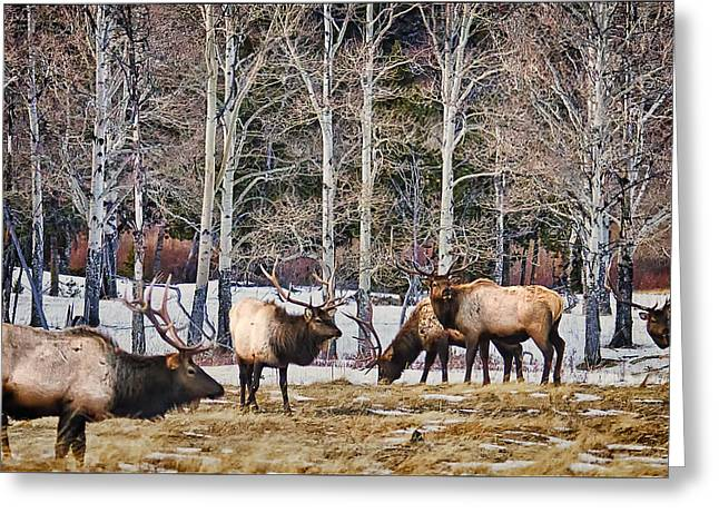 Grazing Snow Greeting Cards - Rocky Mountain Elk Greeting Card by Priscilla Burgers