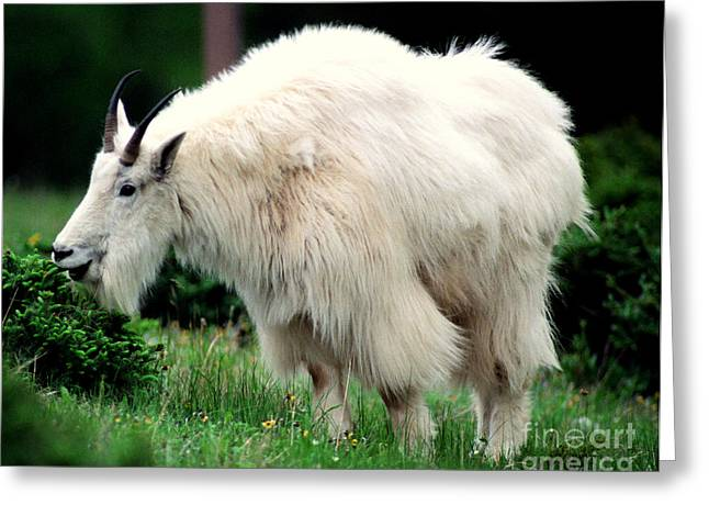 Candian Greeting Cards - Rocky Mountain Goat Eating Greeting Card by Terry Elniski