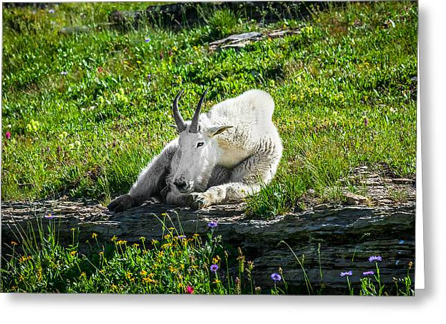 Hooved Mammal Greeting Cards - Rocky Mountain Goat Glacier National Park   Greeting Card by Rich Franco