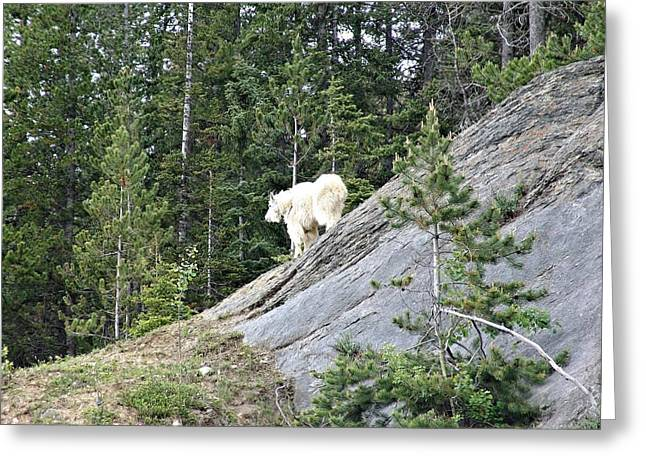 Park Scene Mixed Media Greeting Cards - Rocky Mountain Goat Greeting Card by Janet Ashworth