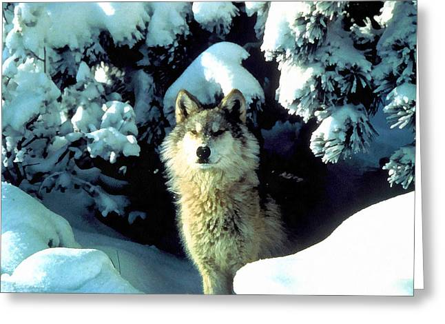 Dog In The Snow Greeting Cards - Rocky Mountain Wolf Greeting Card by Studio Artist