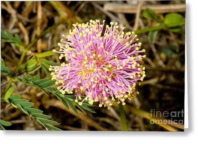 Mimosa Flowers Greeting Cards - Roemers Mimosa Mimosa Roemeriana Greeting Card by Gregory G. Dimijian