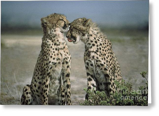 Animals Love Greeting Cards - Romance Greeting Card by Ed Churchill