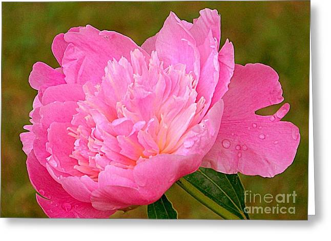 Petals With Droplets Greeting Cards - Pink Peony Greeting Card by Eunice Miller