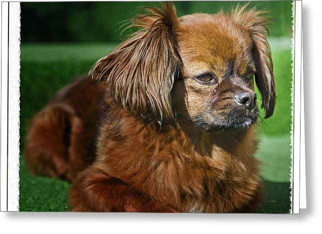Romanian Pekinese No. 1 Greeting Card by Harold Bonacquist
