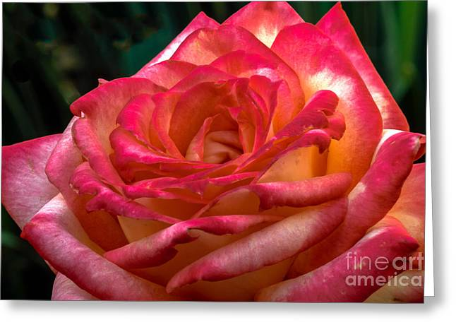 Rosebush Greeting Cards - Romantic Rose Greeting Card by Robert Bales