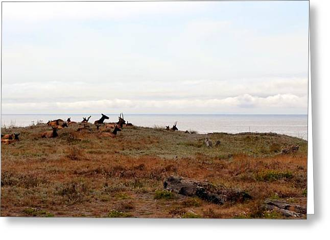 Northern California Beach Greeting Cards - Roosevelt Elk and the Ocean Greeting Card by Michelle Calkins