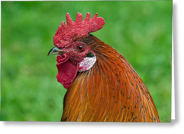 Rooster Greeting Card by Mountain Dreams