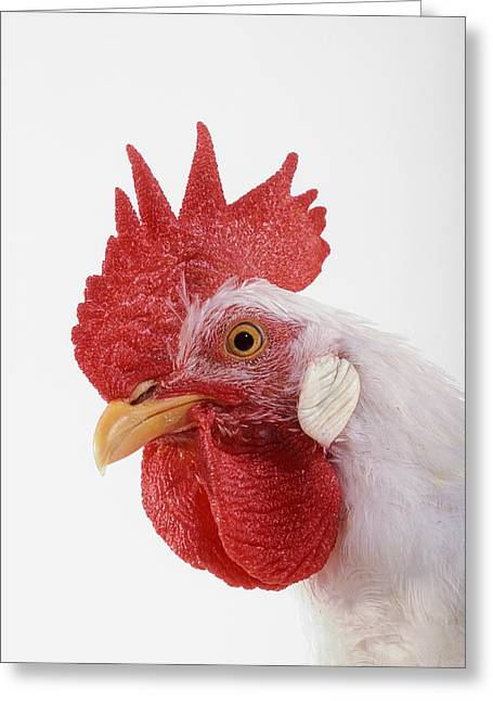 Rooster Photographs Greeting Cards - Rooster Greeting Card by Thomas Kitchin & Victoria Hurst