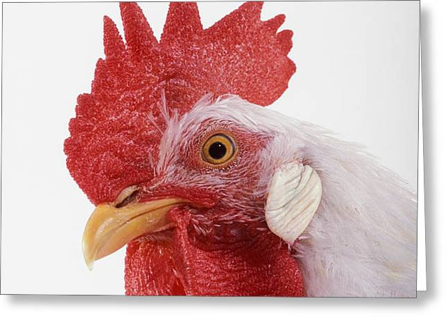 Rooster Greeting Card by Thomas Kitchin & Victoria Hurst