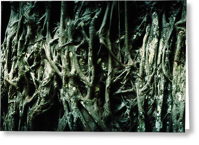 Old Photography Greeting Cards - Roots Of An Old Growth Tree, Morro De Greeting Card by Panoramic Images